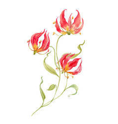 Watercolor gloriosa rothschildiana flower vector
