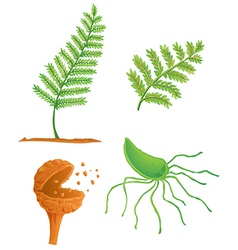 Fern life cycle vector
