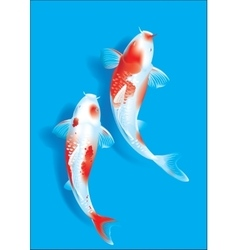 Koi couple on blue vector