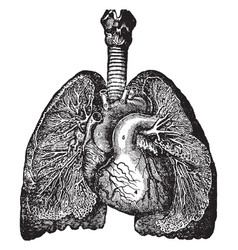 Bronchia and veins of the lungs vintage vector