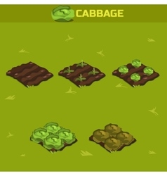 Set 12 isometric stage of growth cabbage vector