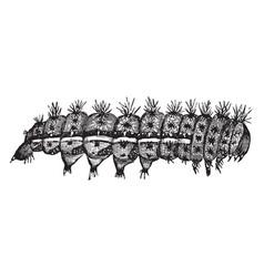 Io moth caterpillar vintage vector