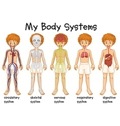 Different system in human vector image vector image
