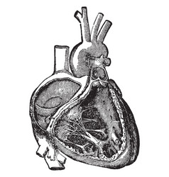 Heart cavities and valves vintage vector