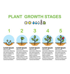plant growth stages infographics line art icons vector image