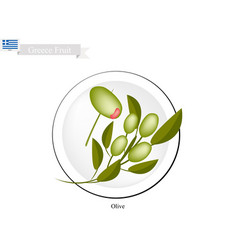 Ripe olive a popular fruit in greece vector