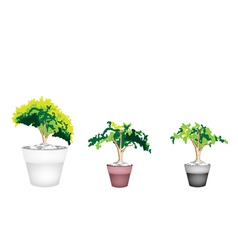 Three Evergreen Plant in Terracotta Flower Pot vector image