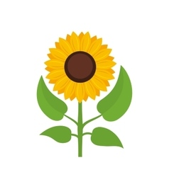 Sunflower isolated on white background vector image