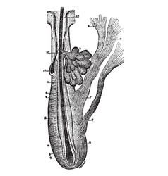 Sebaceous gland vintage vector