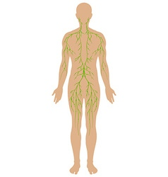 Lymphatic diagram in human being vector image vector image