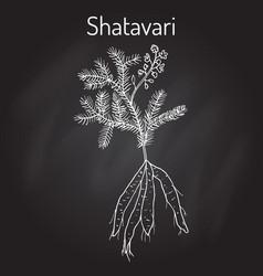 shatavari asparagus racemosus or shatamull vector image vector image