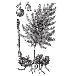 Asparagus engraving vector