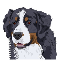 Bernese mountain dog vector