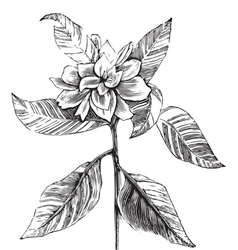 Common gardenia engraving vector