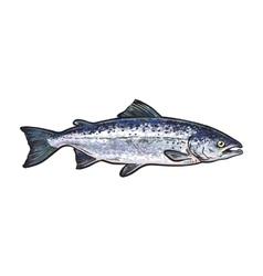 Hand drawn norvegian salmon sketch style vector image vector image
