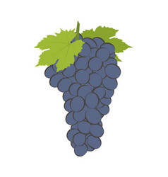 bunch of wine grapes on white vector image vector image