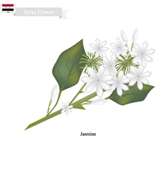 White Jasmine The National Flower of Syria vector image