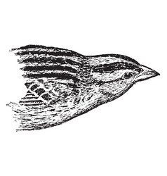 Female bobolink vintage vector