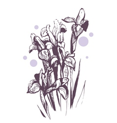 iris flowers hand-drawn vector image vector image