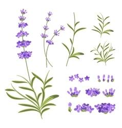Lavender flowers elements vector