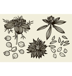 Sketch set of nigella sativa flowers and leaves vector