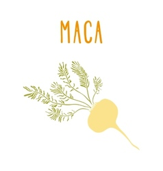 Maca root vector
