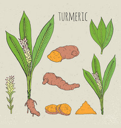 turmeric medical botanical isolated vector image vector image
