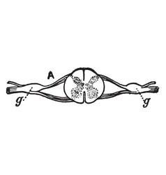 Nerve ganglia spinal vintage vector