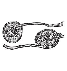 Nerve cells from spinal ganglia vintage vector