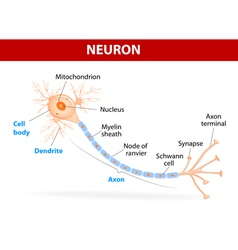 Structure of a typical neuron vector