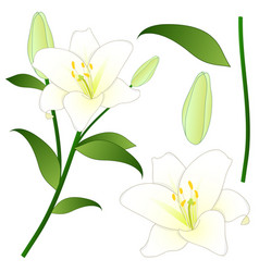 Lilium candidum the madonna lily or white lily vector