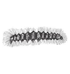 Salt marsh caterpillar vintage vector