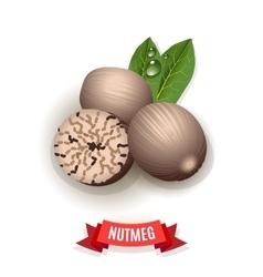 Nutmeg spice vector