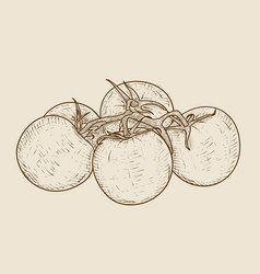 tomatoes hand drawn sketch vector image vector image