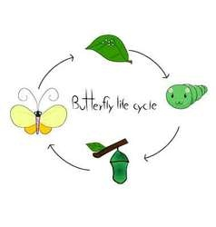 Butterfly cycle vector