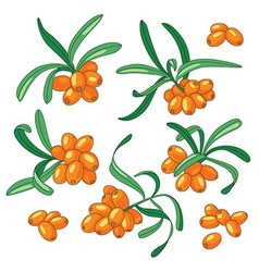Sea buckthorn set vector image vector image