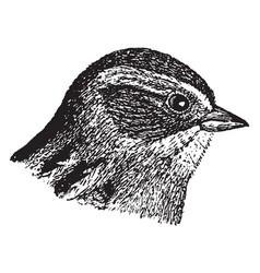 Swamp sparrow vintage vector