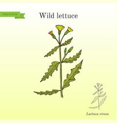 Wild or prickly lettuce lactuca serriola or vector