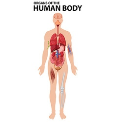 Diagram of organs of the human body vector image