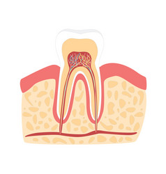 cartoon healthy tooth vector image