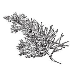 Eastern juniper vintage vector