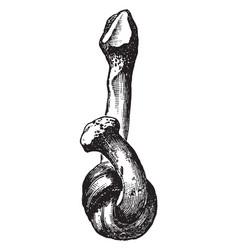 Softened fibula vintage vector