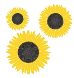 Yellow sunflower with mature seeds and yellow vector
