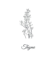 thyme thyme vector image vector image