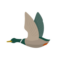flying mallard drake vector image