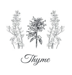 Thyme set collection of thyme vector