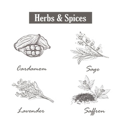 Herbs and spices saffron sage lavender cardamom vector