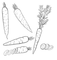 drawing carrots vector image vector image