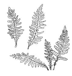 Set of ink drawing fern leaves vector
