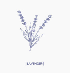 hand drawn lavender bouquet vector image